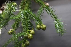 広葉杉の実